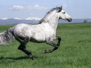 Grey Andalusian Stallion Cantering with Rocky Mtns Behind, Colorado, USA by Carol Walker