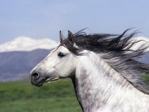 Grey Andalusian Stallion Head Portrait, Colorado, USA by Carol Walker