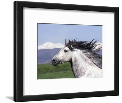 Grey Andalusian Stallion Head Portrait, Colorado, USA