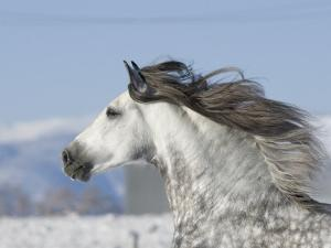 Grey Andalusian Stallion Head Profile While Cantering, Longmont, Colorado, USA by Carol Walker