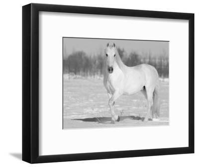 Grey Andalusian Stallion Portrait in Snow, Longmont, Colorado, USA