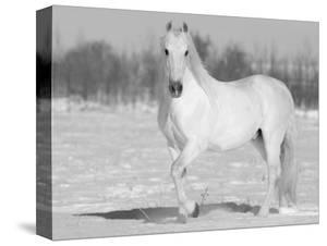 Grey Andalusian Stallion Portrait in Snow, Longmont, Colorado, USA by Carol Walker