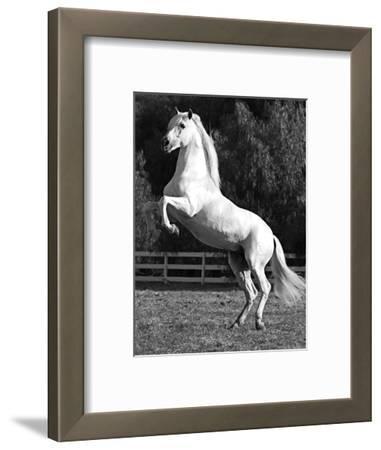 Grey Andalusian Stallion Rearing on Hind Legs, Ojai, California, USA