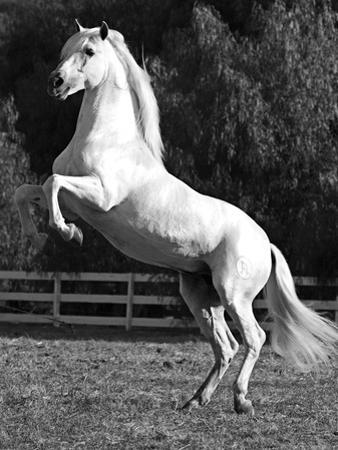 Grey Andalusian Stallion Rearing on Hind Legs, Ojai, California, USA