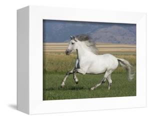 Grey Andalusian Stallion Running in Field, Longmont, Colorado, USA by Carol Walker
