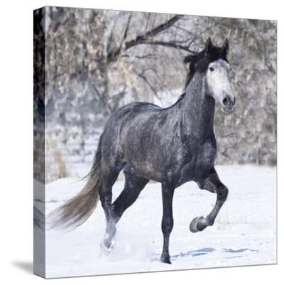 Grey Andalusian Stallion Running in Snow, Berthoud, Colorado, USA
