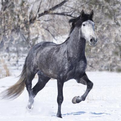 Grey Andalusian Stallion Running in Snow, Berthoud, Colorado, USA