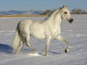 Grey Andalusian Stallion Trotting Through Snow, Colorado, USA by Carol Walker