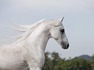 Grey Arab Stallion, Ojai, California, USA by Carol Walker