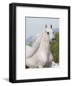 Grey Arabian Stallion Portrait, Ojai, California, USA by Carol Walker