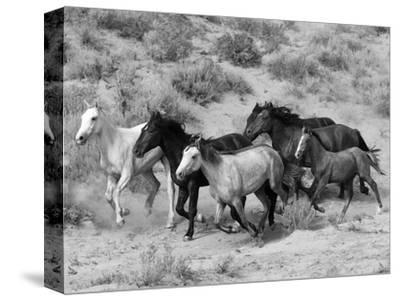 Group of Wild Horses, Cantering Across Sagebrush-Steppe, Adobe Town, Wyoming