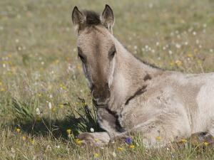Grulla Colt Lying Down in Grass Field with Flowers, Pryor Mountains, Montana, USA by Carol Walker