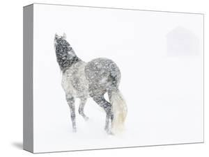 Horse In Snow Storm With Shed In Background, USA by Carol Walker