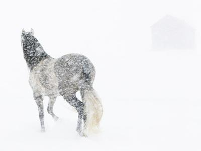 Horse In Snow Storm With Shed In Background, USA
