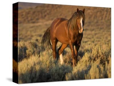 Mustang / Wild Horse, Chestnut Stallion Walking, Wyoming, USA Adobe Town Hma