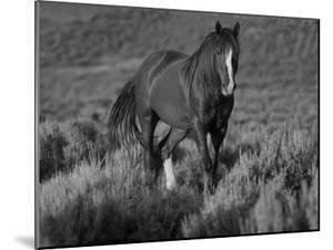 Mustang / Wild Horse, Chestnut Stallion Walking, Wyoming, USA Adobe Town Hma by Carol Walker