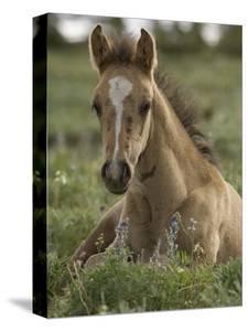 Mustang / Wild Horse Colt Foal Resting Portrait, Montana, USA Pryor Mountains Hma by Carol Walker
