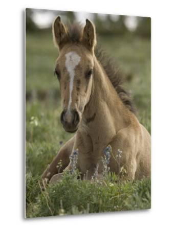 Mustang / Wild Horse Colt Foal Resting Portrait, Montana, USA Pryor Mountains Hma