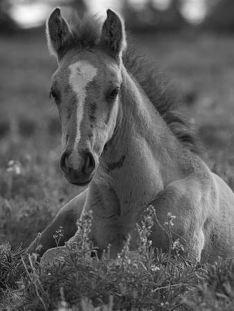 Mustang / Wild Horse Colt Foal Resting Portrait, Montana, USA Pryor Mountains Hma by Carol Walker