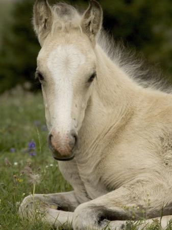 Mustang / Wild Horse Filly Portrait, Montana, USA Pryor Mountains Hma by Carol Walker