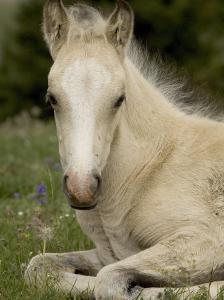 Mustang / Wild Horse Filly Portrait, Montana, USA Pryor Mountains Hma by Carol Walker