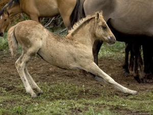 Mustang / Wild Horse Filly Stretching, Montana, USA Pryor Mountains Hma by Carol Walker