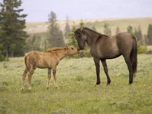 Mustang / Wild Horse Filly Touching Nose of Mare from Another Band, Montana, USA by Carol Walker