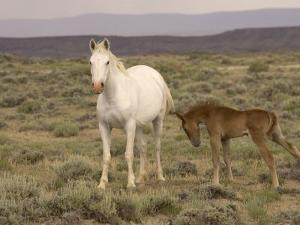 Mustang / Wild Horse, Grey Mare with Colt Foal Stretching, Wyoming, USA Adobe Town Hma by Carol Walker