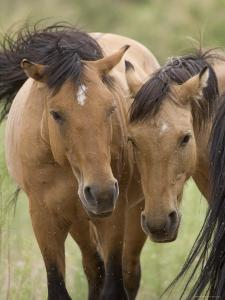 Mustang / Wild Horse Mare and Stallion Bothered by Flies in Summer, Montana, USA Pryor by Carol Walker