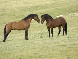 Mustang / Wild Horse, Two Stallions Approaching Each Other, Montana, USA Pryor by Carol Walker