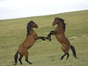 Mustang / Wild Horse, Two Stallions Fighting, Montana, USA Pryor Mountains Hma by Carol Walker