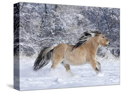 Norwegian Fjord Mare Running in Snow, Berthoud, Colorado, USA