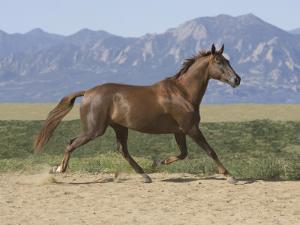 Oldenburg Horse Trotting, Colorado, USA by Carol Walker