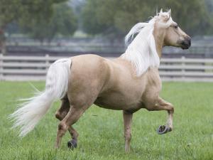 Palomino Andalusian Stallion Trotting in Paddock, Ojai, California, USA by Carol Walker