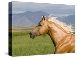 Palomino Quarter Horse Stallion, Head Profile, Longmont, Colorado, USA by Carol Walker