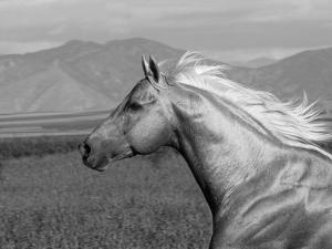 Palomino Quarter Horse Stallion, Head Profile, Longmont, Colorado, USA by Carol Walker