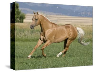 Palomino Stallion Running in Field, Longmont, Colorado, USA by Carol Walker