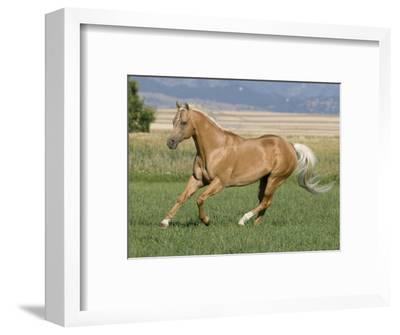 Palomino Stallion Running in Field, Longmont, Colorado, USA