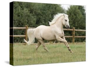 Palomino Welsh Pony Stallion Galloping in Paddock, Fort Collins, Colorado, USA by Carol Walker