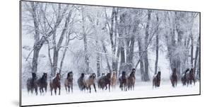 Rf- Quarter Horses Running In Snow At Ranch, Shell, Wyoming, USA, February by Carol Walker
