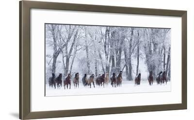 Rf- Quarter Horses Running In Snow At Ranch, Shell, Wyoming, USA, February