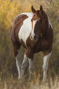 Skewbald Horse In Ranch, Martinsdale, Montana, USA by Carol Walker