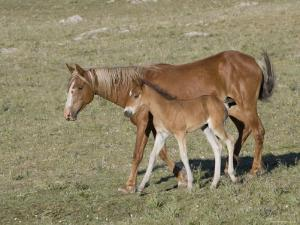 Sorrel Mare with Chestnut Filly, Pryor Mountains, Montana, USA by Carol Walker