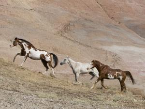 Two Paint Horses and a Grey Quarter Horse Running Up Hill, Flitner Ranch, Shell, Wyoming, USA by Carol Walker