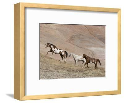 Two Paint Horses and a Grey Quarter Horse Running Up Hill, Flitner Ranch, Shell, Wyoming, USA