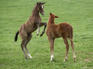 Two Thoroughbred Colt Foals, Playing, Virgina by Carol Walker