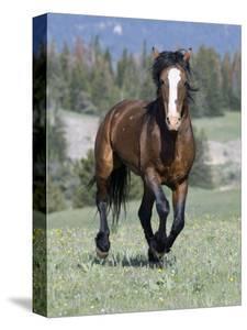 Wild Horse, Bay Stallion Cantering Portrait, Pryor Mountains, Montana, USA by Carol Walker