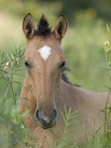 Wild Horse Mustang, Dun Filly Lying Down, Pryor Mountains, Montana, USA by Carol Walker