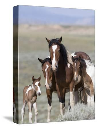 Wild Horse Mustang in Mccullough Peaks, Wyoming, USA