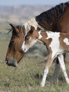 Wild Horse Mustang in Mccullough Peaks, Wyoming, USA by Carol Walker